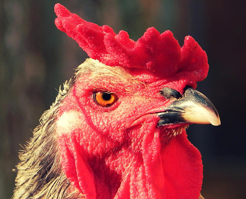 That's an angry Chicken.